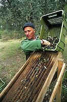 Farmer separating  leaves from olives