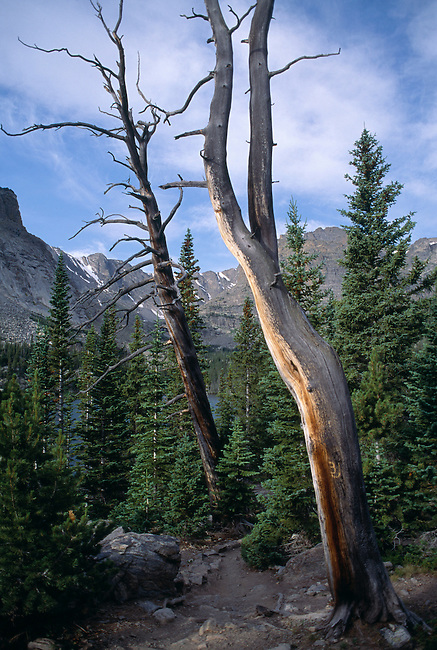 A barren, crooked tree at a trail's edge, Rocky Mtn. Nat'l Park, CO