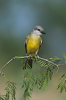 Couch's Kingbird, Tyrannus couchii , adult on Mesquite tree, Starr County, Rio Grande Valley, Texas, USA