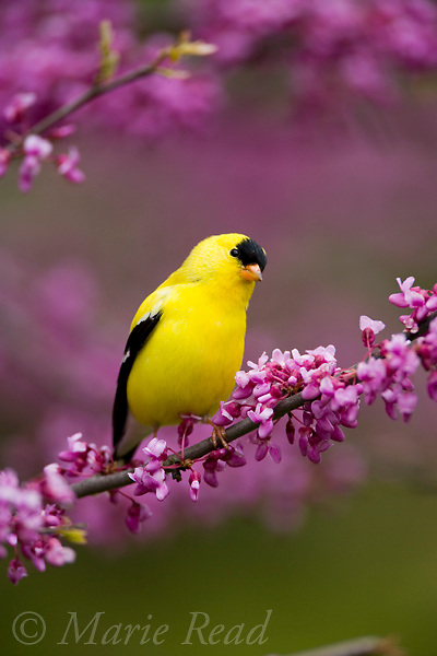 American Goldfinch (Carduelis tristis), male in flowering Eastern Redbud, New York, USA