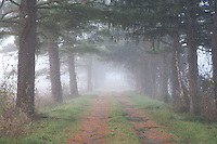 Morning fog on a dirt road lined with Pine Trees on both sides