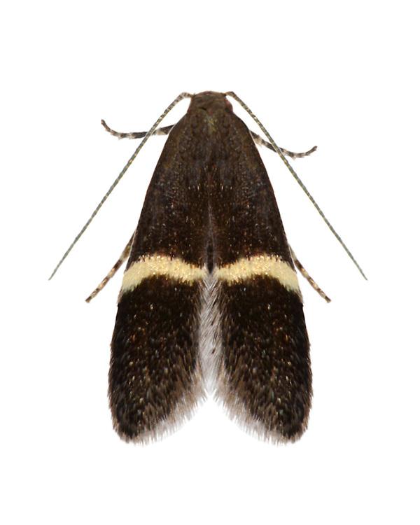 35.003 (0844)<br /> Syncopacma larseniella