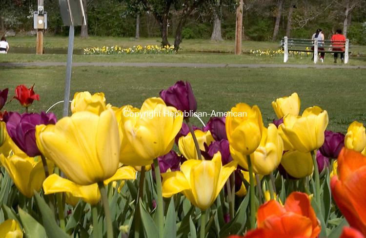 WATERBURY, CT. 20 April 2012-042012SV13-Tulips are in full bloom at Fulton Park in Waterbury Friday..Steven Valenti Republican-American