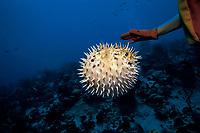 longspined porcupinefish, long-spine porcupinefish, freckled porcupinefish, Diodon holocanthus, inflated with spines erect as a defense in response to diver harassment, Grand Cayman, Cayman Islands, Caribbean Sea, Atlantic Ocean