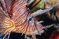Common lionfish, Pterois volitans, Bonaire, Caribbean Netherlands, Caribbean