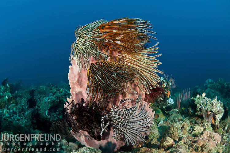 Giant barrel sponge (Xestospongia testudinaria) studded with crinoids or featherstars with gorgonian fan