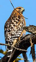 2016-11-21_LGCrk Hawk