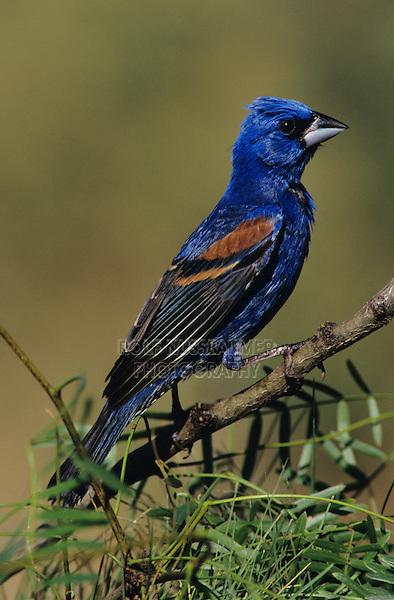 Blue Grosbeak, Guiraca caerulea, male on mesquite, Starr County, Rio Grande Valley, Texas, USA, May 2002