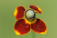Mexican Hat (Ratibida columnaris), blooming, Dinero, Lake Corpus Christi, South Texas, USA