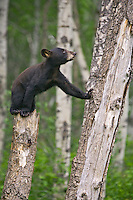 Black Bear cub standing on top of a snag while leaning against a tree trunk