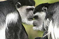 Germany, DEU, Muenster, 2004-Sep-02: Two guerezas (colobus guereza) sitting face to face in the Muenster zoo.