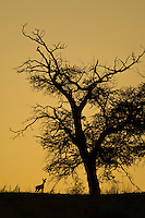 Silhouette of a steenbok under a camelthorn tree on dune ridge