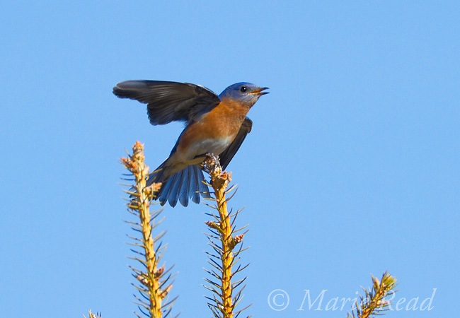Eastern Bluebird (Sialia sialis) male singing and giving wing wave to female nearby (not visible), Interlaken, New York, USA