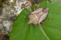 Nördliche Fruchtwanze, Carpocoris fuscispinus, syn. Carpocoris mediterraneus atlanticus, Shield Bug, Mediterranean stink bug, Red shield bug, skull shield-bug