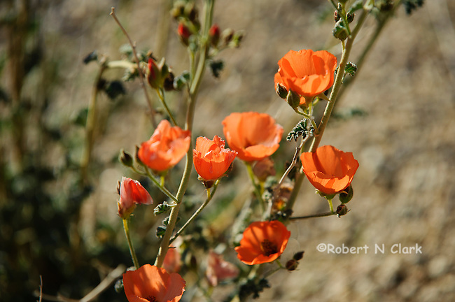 California Poppies in bloom in the sesert