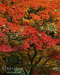 Japanese Maple, Acer palmatum, Mill Valley, Marin County, California
