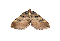 Shoulder-stripe - Anticlea badiata