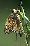 Niobe Fritillary Butterfly, Argynnis niobe, pair mating, Provence, orange.France....