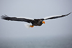 Japan, Hokkaido, Steller's sea eagle flying in snowstorm