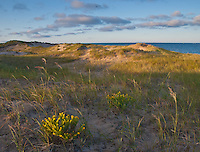 Wildflowers grace the foredunes in Morning Light at Ludington State Park
