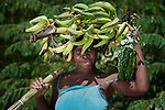 A year after Hurricane Matthew ravaged parts of Haiti, Marlene Depa harvests bananas in the community of Bassin Hady, a village in the country's drought-stricken northwest where seven people died during the storm. In the wake of the hurricane, residents constructed a series of earthen dikes that catch and hold rain water, preventing soil erosion and providing water for expanded agriculture. They did it with help from Lutheran World Relief, one of several members of the ACT Alliance that are helping Haitians build resiliency as they rebuild from the storm.