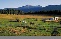 horses grazing in pasture at dusk. Mt. Shasta California.