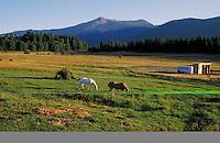horses grazing in pasture at dusk. Mt. Shasta California.