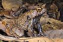 South East Asia: Amphibians