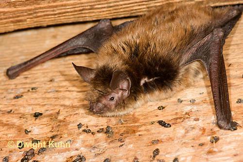 MA20-644z  Little Brown Bats, Myotis lucifugus