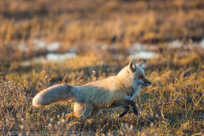 Red fox hunts on the tundra of Alaska's arctic north slope.