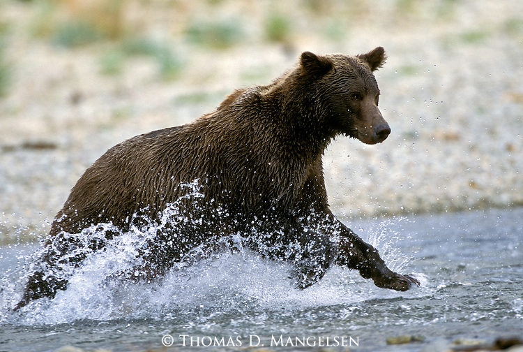 Alaskan Brown Bear (Ursus arctos) charging through the water in Southeast, AK