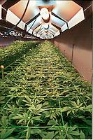La coltura della canapa in Italia. A Rovigo presso il Centro di Ricerca per le Colture Industriali, CRA-CIN, se ne studiano le potenzialità terapeutiche.