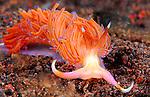 Siboga Cuthona, pg 374,Underwater macro marine life images;  Photographed in Tulamben; Liberty Resort; Indonesia.Underwater Macro Photographer on FB 2nd Annual event