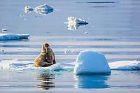 Atlantic walrus, Odobenus rosmarus rosmarus, adult, on ice floe, Olga Strait, Svalbard, Norway, Atlantic Ocean