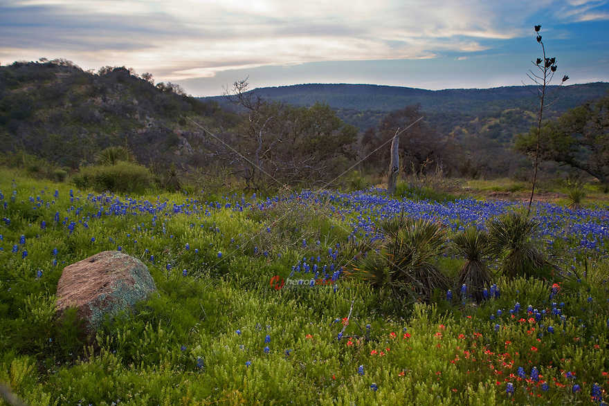 Bluebonnets in spring bloom paint the beautiful hill and mountains at the Willow City Loop Road, Texas