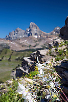 Colombine wildflowers, Grand Tetons, Grand Targhee, Alta, Wyoming