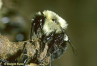 BU27-004z  Bumblebee - laying eggs in wax cell - Bombus impatiens