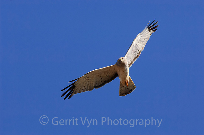 Adult male Northern Harrier (Circus cyaneus) in flight. Arctic Coastal Plain, Alaska. June.