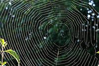Garten-Kreuzspinne, Gartenkreuzspinne, Gemeine Kreuzspinne, Araneus diadematus, cross orbweaver, European garden spider, cross spider, diadem spider, crowned orb weaver, l'Épeire diadème, Araignée des jardins, Araignée porte-croix