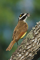 Great Kiskadee, Pitangus sulphuratus, adult eating moth, Willacy County, Rio Grande Valley, Texas, USA