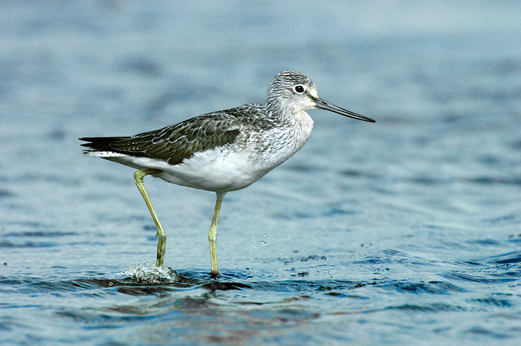 Greenshank Tringa nebularia L 30-31cm. An elegant and long-legged wader. Beautifully patterned but can look very white at a distance. Has yellowish green legs and long, slightly upturned, grey-based bill. Sexes are similar. Adult in summer has grey-brown upperparts with black centres to many back feathers. Head, neck and breast are streaked but underparts are white. In winter upperparts are pale grey above and underparts are white. Juvenile recalls winter adult but upperparts are darker and browner. Voice Utters a distinctive tchu-tchu-tchu call. Status Scarce breeding species, restricted to Scottish blanket bogs. Fairly common passage migrant, mainly to coasts, and local in winter.