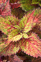Coleus 'Indian Summer' Solenostemon annual Foliage Plant