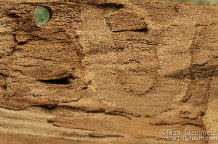 Underside of bark showing larval trails and the characteristic D-shap exit hole of an adult Emerald Ash Borer (Agrilus planipennis). The bark was from a White Ash tree.
