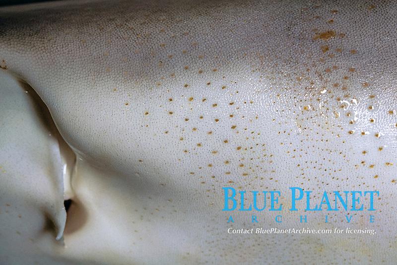 detail of grey reef shark, Carcharhinus amblyrhynchos, showing nostril and ampullae of Lorenzini, Kona, Big Island, Hawaii, USA, Pacific Ocean