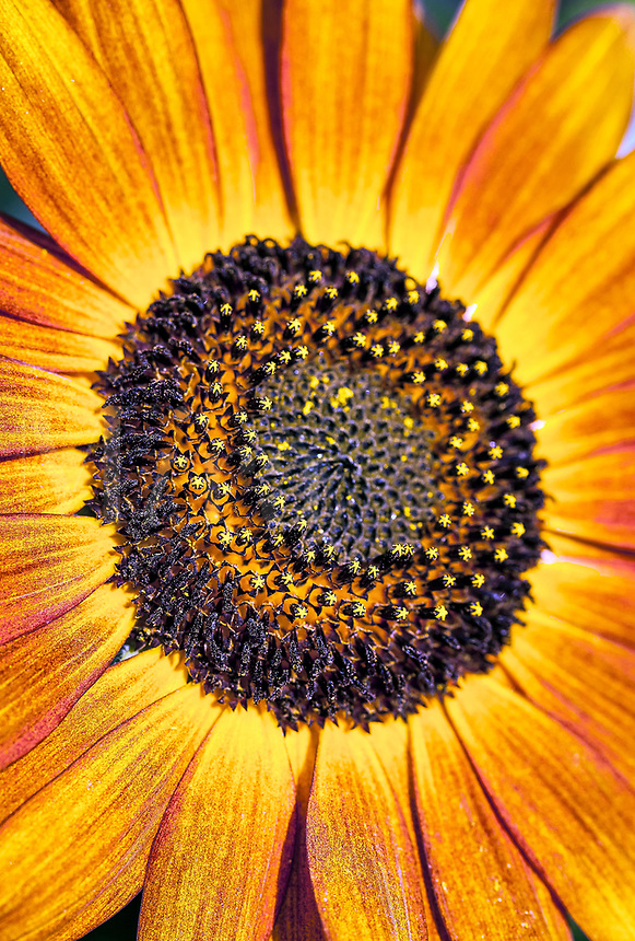 Orange sunflower.