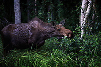 A hungry moose, a denizen in the wilderness forages amid the woodlands near the Matanuska River northeast of Anchorage, Alaska. are the largest of the deer family and feed one woody plants in the winter and water plants in the summer.