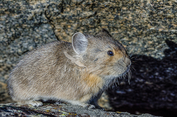 American pika (Ochotona princeps), Beartooth Mountains, Wyoming-Montana border.  Sept.