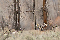 Trophy Nontypical Mule Deer Buck and his herd in a cottonwood forest in Jackson Hole Wyoming<br /> <br /> The story of this huge buck<br /> A trophy buck ~ through the years.<br /> http://daryl-hunter.net/a-trophy-buck-through-the-years