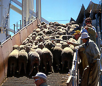 Sheep being loaded on to ship destined for the middle east, Freemantle, Australia
