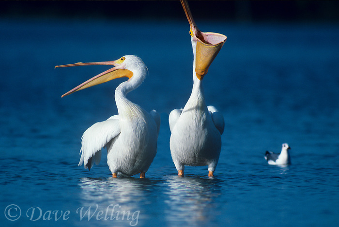 570047009c wild white pelicans pelecanus crythrorhynchos wade in a shallow estuary in ding darling national wildlife refuge in south florida
